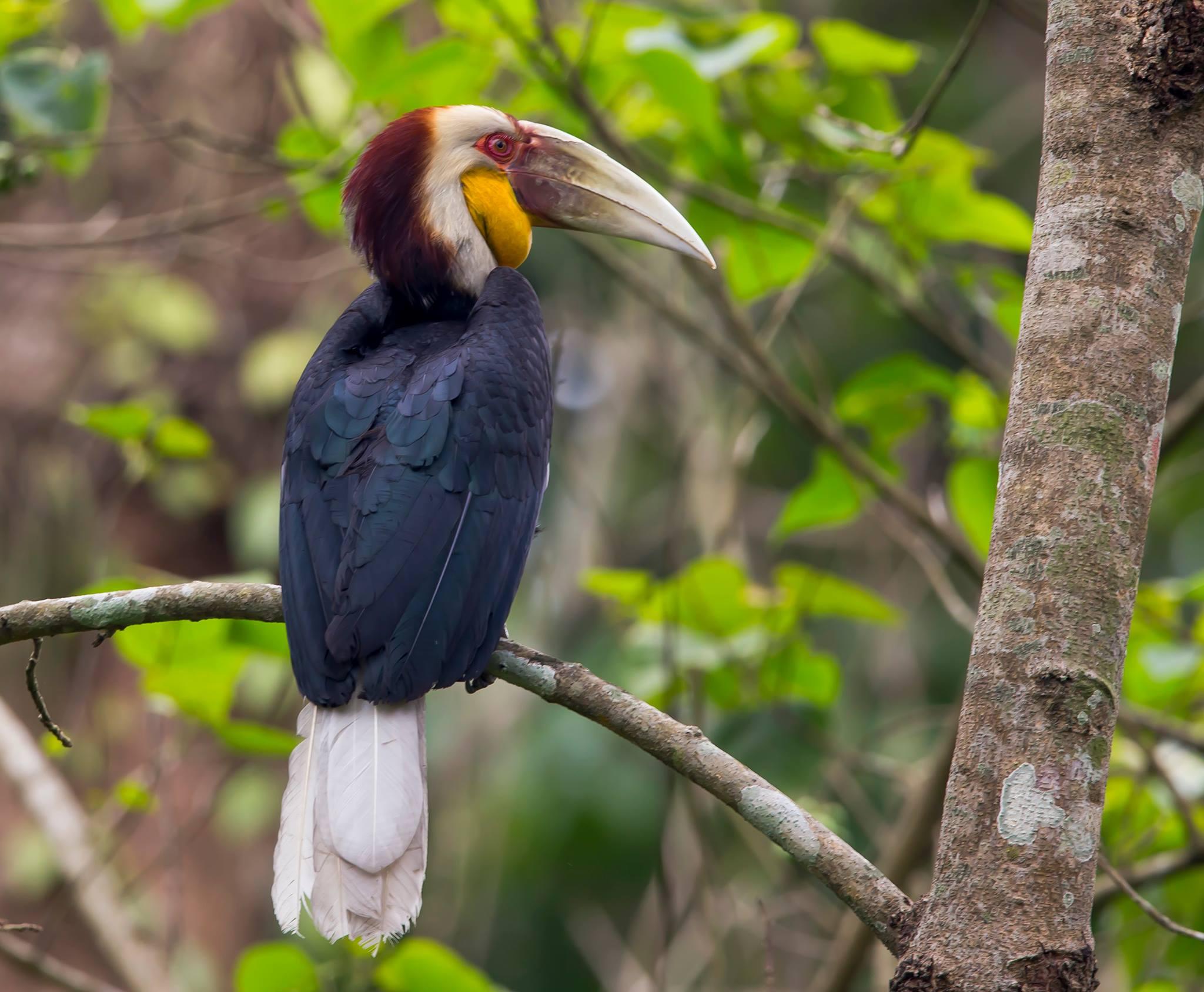 Juvenile wreathed Hornbill : Tajesh Shah